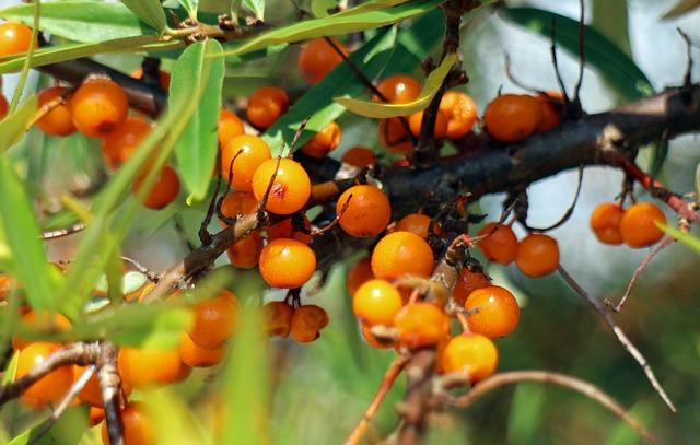 oranžové bobule