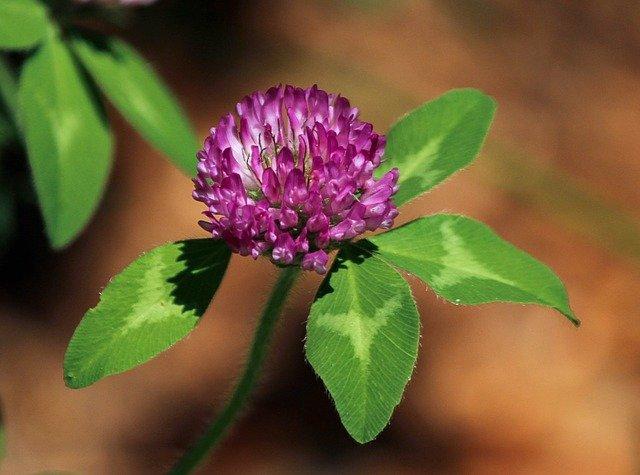fialový jetel