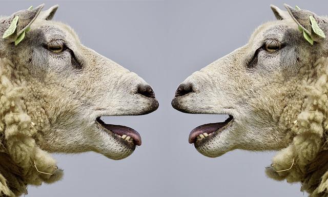 ovčí hlavy
